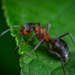 close up photography of red ant on green leaf